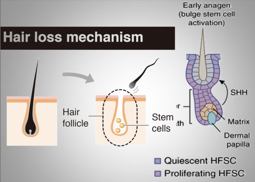 Cellule staminali capelli